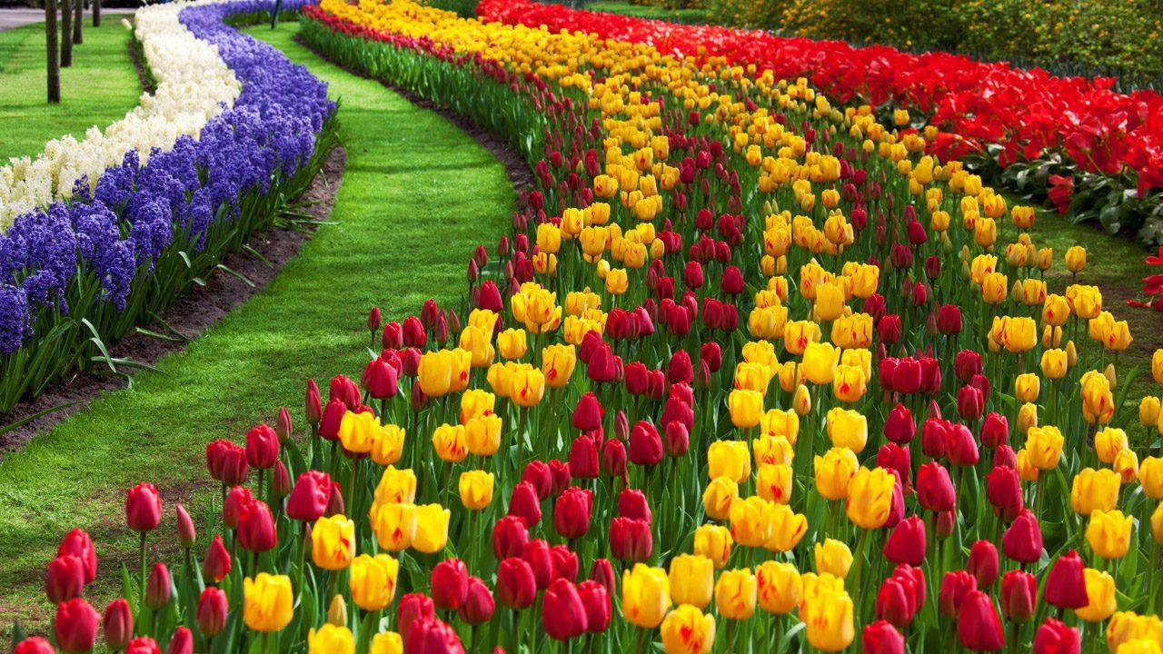 tulip flower garden - Flower Garden